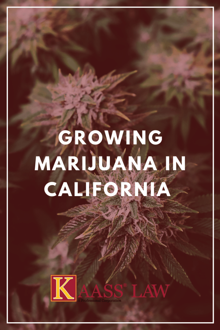 Growing Marijuana in California