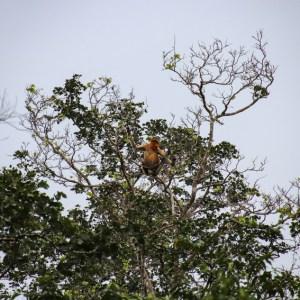 Aap Borneo Sabah
