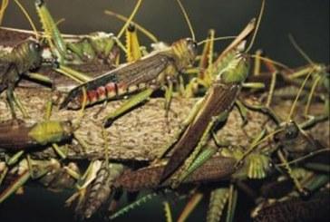 Dubréka : les plantations menacées par les criquets pèlerins