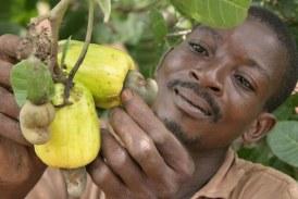Economie-Boké: les planteurs du Cajou sollicitent leur mise à niveau