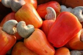 Economie-Boké : un (01) kilogramme de la noix du Cajou grillé se vend à 45.000 GNF dans la préfecture