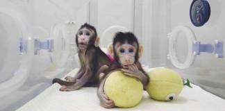 cina berhasil kloning monyet, apakah manusia selanjutnya?