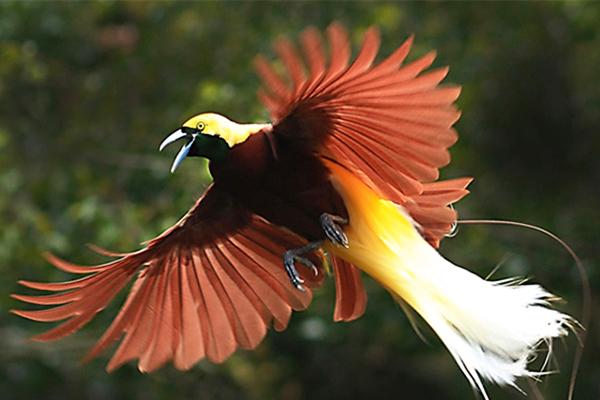The-Bird-Paradise of Papua
