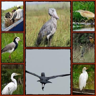 A-day-in-Mabamba-Swamp-Wetlands-in-search-of-Shoebill-Storks.jpg