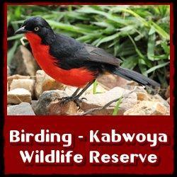 Kabwoya-Birding