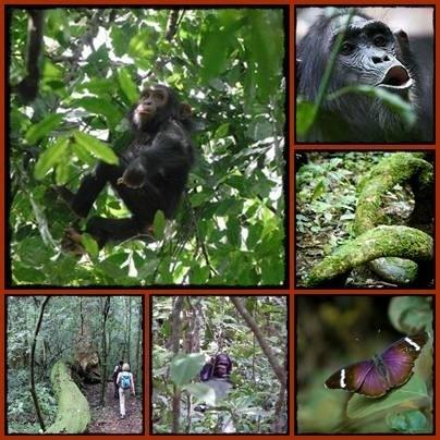Budongo Forest Chimpanzee Trekking Day Trip Safari