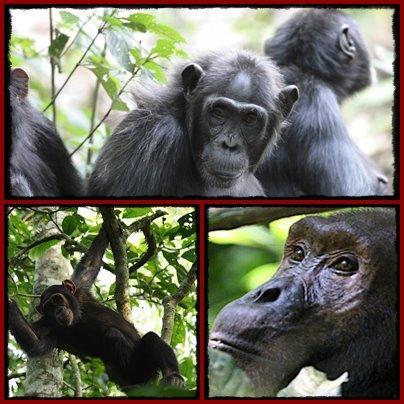 5-Day Gorilla-Chimpanzee Habituation Experience Safari