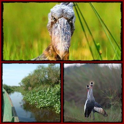 mabamba-swamp-shoebill