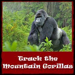Track-Mountain-Gorillas-Rwanda