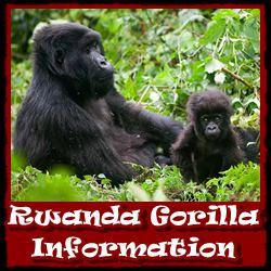 Rwanda-Gorilla-Information