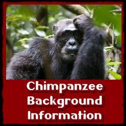 Chimpanzee-background-information
