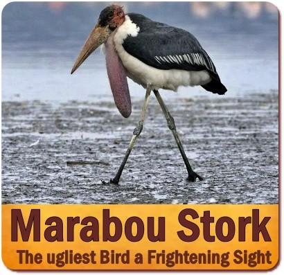 The Marabou Stork is the Unofficial National Bird of Uganda