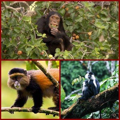 Gishwati - Mukura Forest Park - a Forest is reborn