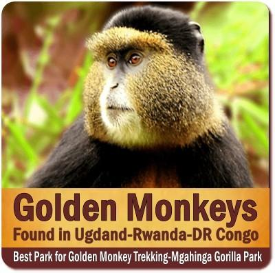 Best Park for Golden Monkey Trekking