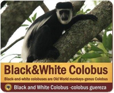 Primates- Gorillas - Chimpanzees - Monkeys found in Rwanda