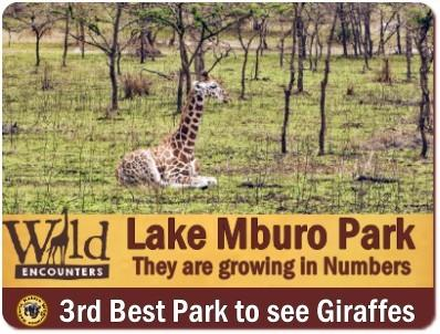 Best Places to see Rothschild Giraffes in the Wild in Uganda