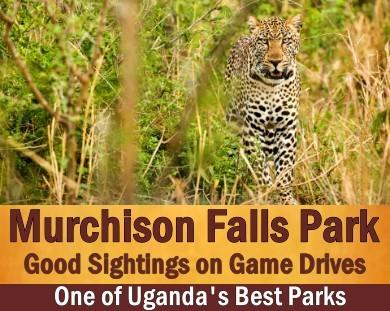 The Best Places to see Leopards in Uganda the Pearl of Africa