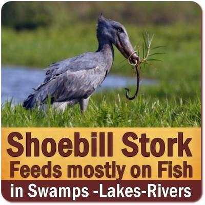 The Elusive - Ancient Appearing Shoebill Stork of Uganda