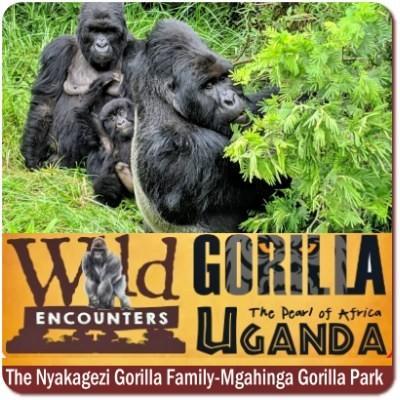 Meet the Nyakagezi Gorilla Family in Mgahinga Gorilla Park-Uganda