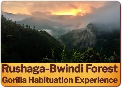 What is a Gorilla Habituation Experience in Uganda like?