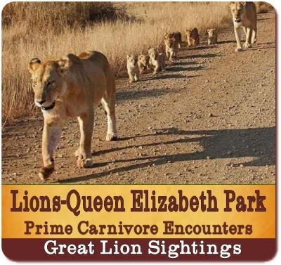 Best Places to see Lions in Uganda-The Pearl of Africa
