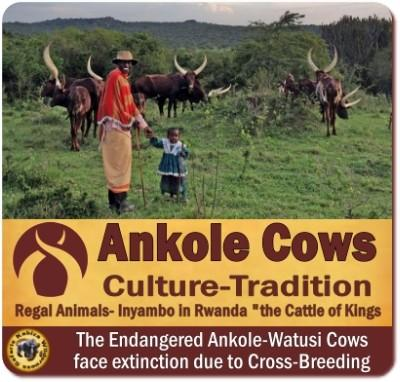 Ankole Cows in Uganda – Rwanda – the Cattle of Kings