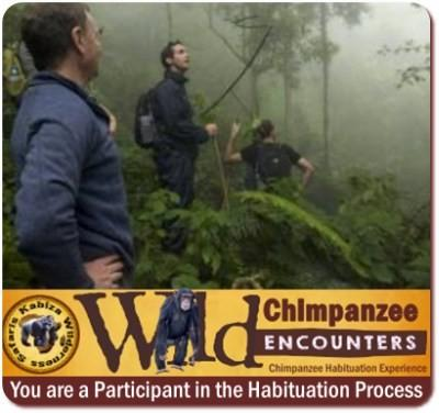 All Day Chimpanzee Habituation Experience - CHEX - Kibale Forest