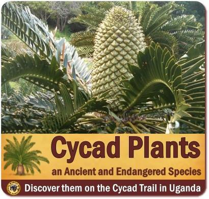 The Cycad Trail in the Mpanga River Gorge-Best Cycad Location in Africa