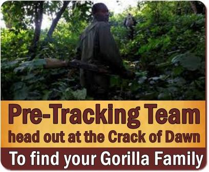 What are my Chances of seeing the Mountain Gorillas?