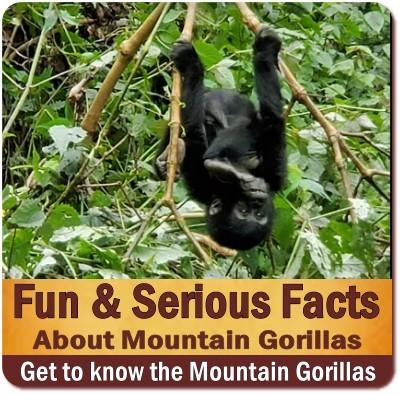 10-Fun and Serious Facts about Mountain Gorillas