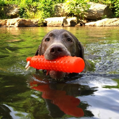 Teaching yearling Ollie to swim and retrieve in a private obedience session.
