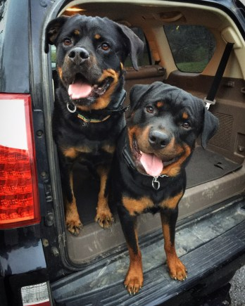 Buck and Sophia practice waiting for their release request in the car before training.