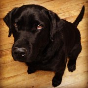 Hutch is a gorgeous Eastern Shore Black Lab.