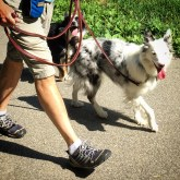 Thor and Vinka are easy to walk after Kabler training.