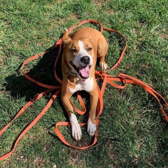 Boxer mix Sydney happy after obedience practice during Residency training course.