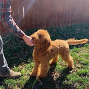 Goldendoodle Sunday learning to 'drop it' during a game of chase and tug.