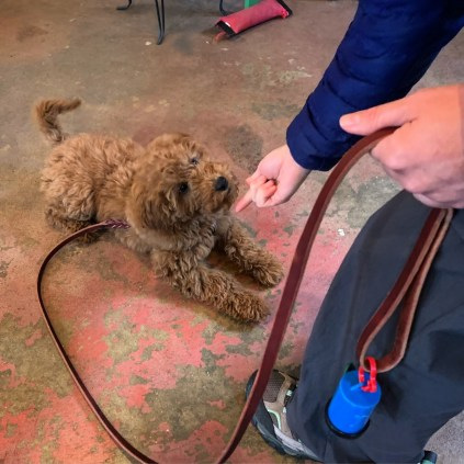 Puppy training in Asheville, NC