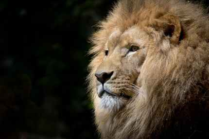 close up photography of brown lion