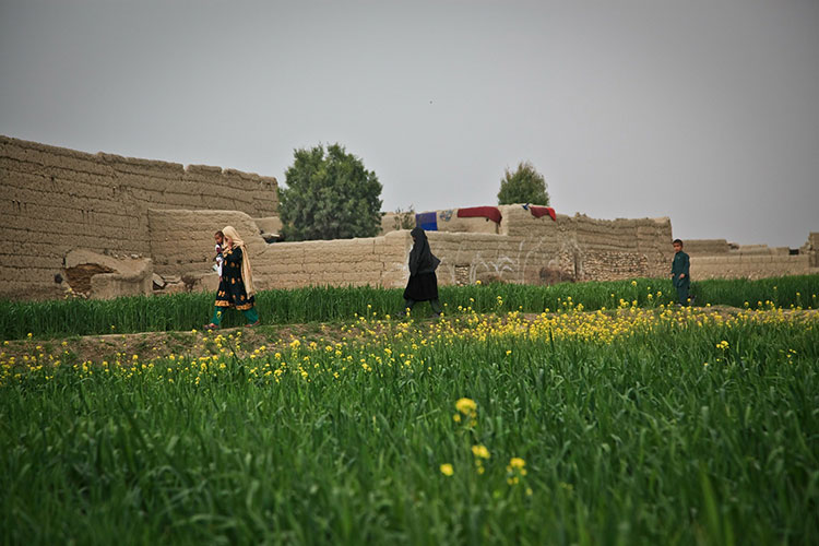 Flowery field in Afghanistan