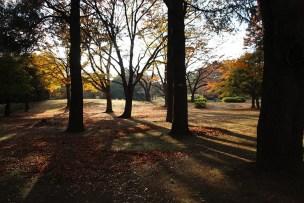 光が丘公園 いちょうの木
