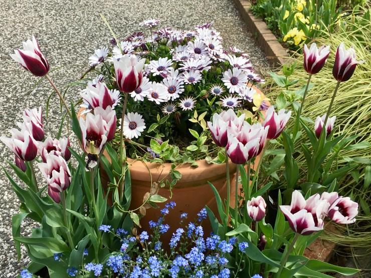 チューリップ(白×紫)