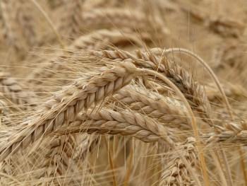 寒冷地でも育つライ麦