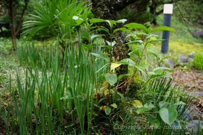 山百合と庭