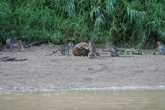 Seeing monkeys feeding in the wild on the Kinabatangan River Cruise