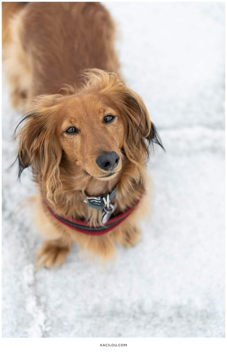 cute golden red dachshund at salt flats