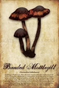 Banded Mottlegill