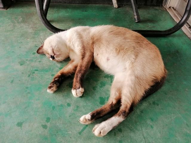 ภาพแมวสีขาวสลับน้ำตาลกำลังนอนอยู่บนพื้นกระเบื้องยางสีเขียว