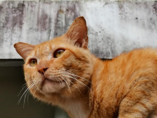 ภาพระยะใกล้ของแมวสีส้ม