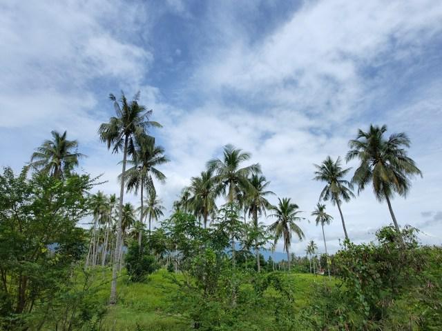 ภาพวิวสวนและท้องฟ้า มีต้นมะพร้าวปลูกเรียงรายอยู่ห่างๆ กันเป็นระยะๆ