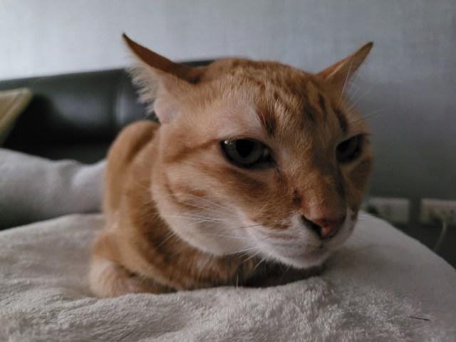 ภาพระยะใกล้ของแมวสีส้มกำลังนอนอยู่บนเบาะสีขาว